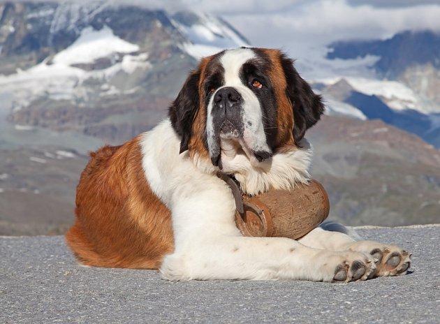 Svatobernardský pes (bernardýn)
