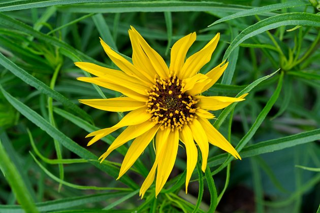 Slunečnice vytrvalá (Helianthus maximiliani)