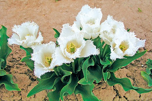 tulipány Happy Hour