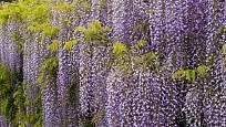 Vistárie květnatá (Wisteria floribunda) krášlí zeď
