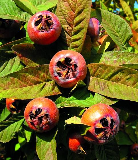 Mišpule, odrůda Holandská