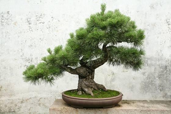 Bonsaj vytvarovaná ze semenáčku borovice.