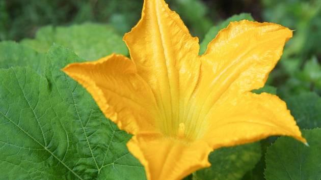 Kvetoucí cuketa je ozdobou zahrady