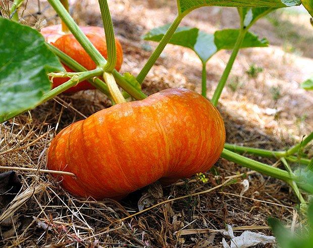 Mulč chrání půdu před suchem a  plody před vlhkem