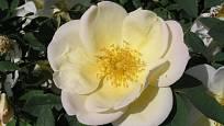Sadová růže, odrůda Frühlingsgold