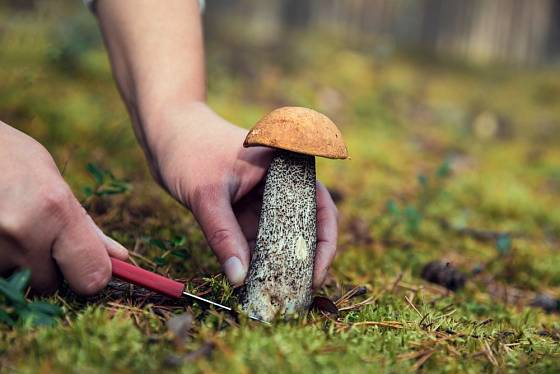 I začínající houbař najde jedlou houbu