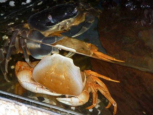 Čerstvě svlečený krab