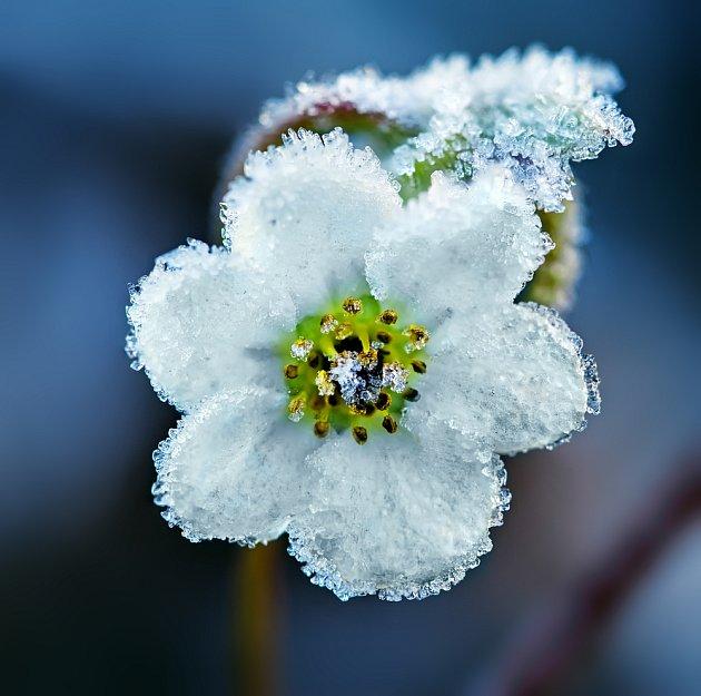 Květ čemeřice v lednové zahradě.