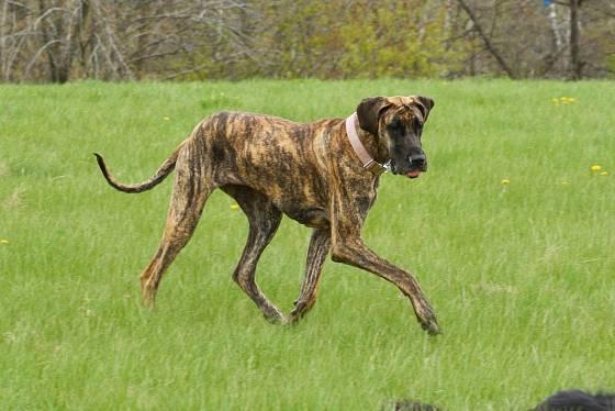 Další barevnou variantou německé dogy je černé žíhání.