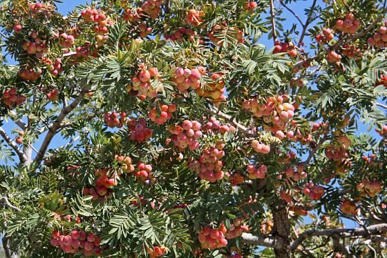 Jeřáb oskeruše (Sorbus domestica)