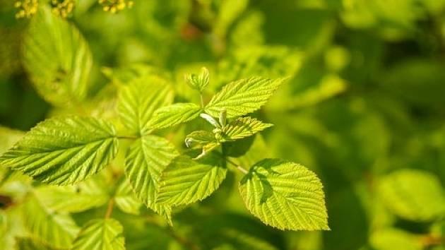 Mnohokrát se však zapomíná na malinové listy, které jsou zázrakem přírodní medicíny a mají úžasné léčivé účinky.
