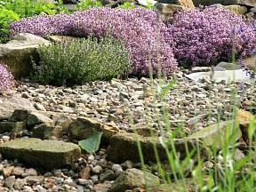 Polštářům tymiánu se mezi kameny a kamínky daří a také tam skvěle vypadají