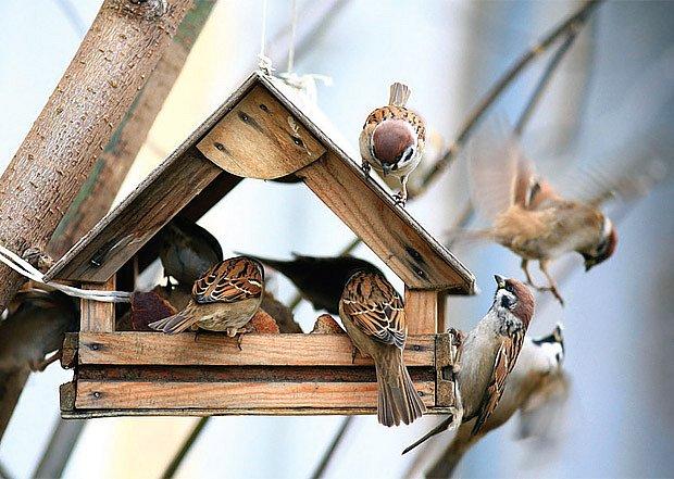 Vrabci domácí (Passer domesticus)