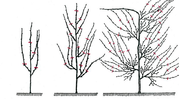 Tvarování vistárie do kordonu v prvním, druhém a třetím roce