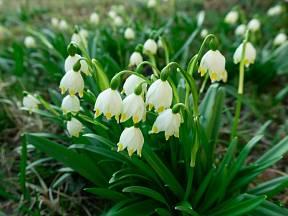 Bledule jarní patří mezi rostliny chráněné a jedovaté