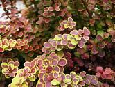 Dřišťál Thunbergův je okrasný keř nespočených dekorativních variet