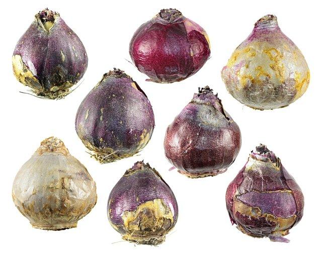 Cibule hyacintů.