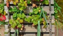 Nemáte-li na zahradě dost místa, pěstujte jahody vertikálně, třeba na paletě.