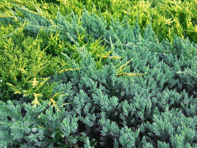 plazivé jalovce - Juniperus horizontalis 'Golden Carpet' a Juniperus squamata 'Blue Carpet'