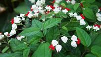 klerodendron, Blahokeř Thomsonové (Clerodendrum thomsonie)