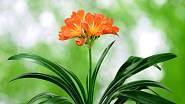 Kvetoucí klívie (Clivia monista).