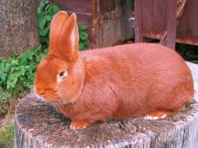 Novozélandský králík červený