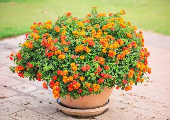 Lantana, ohnivě kvetocuí balkónová rostlina