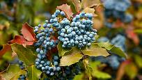 mahonie cesmínolistá má dekorativní listy i plody