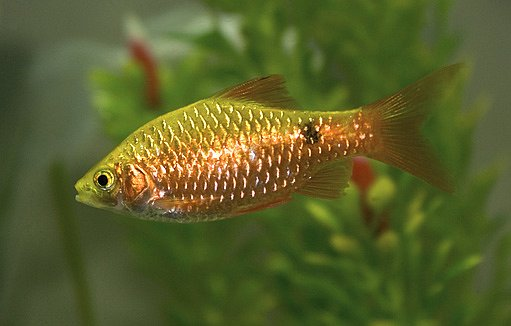 Parmička zlatá (Puntius semifasciolatus)