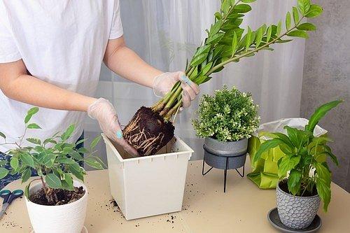 Zamiokulkas přesazujte jednou za dva roky v jarním období do květináče většího asi o pět centimetrů.