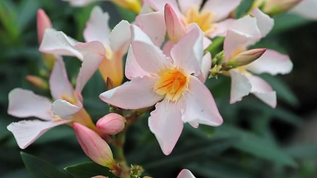 Oleandry jsou teplomilné rostliny, které je potřeba zazimovat. I přesto mohou uschnout.