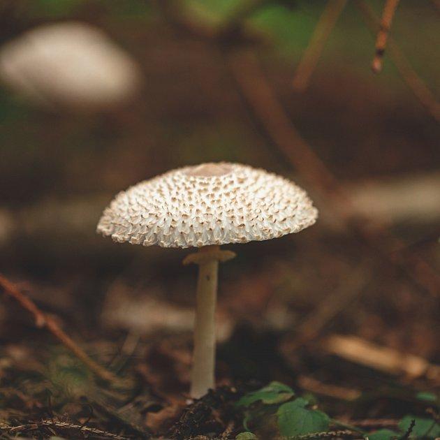 Leucoagaricus nympharum čili bedla dívčí je také jedlá.