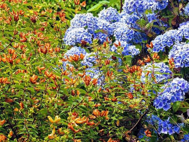 Třezalka kališní (Hypericum calycinum) a hortenzie velkolistoá (Hydrangea macrophylla)
