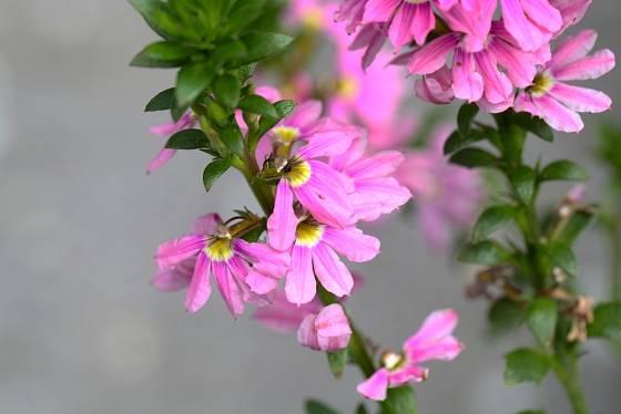 Vějířovka nezlomná (Scaevola aemula)