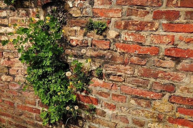 Vlaštovičník větší se uchytí snadno i na zdi.