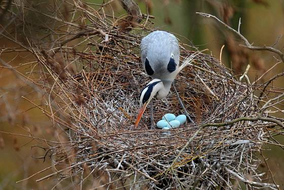 Volavka popelavá na hnízdě.