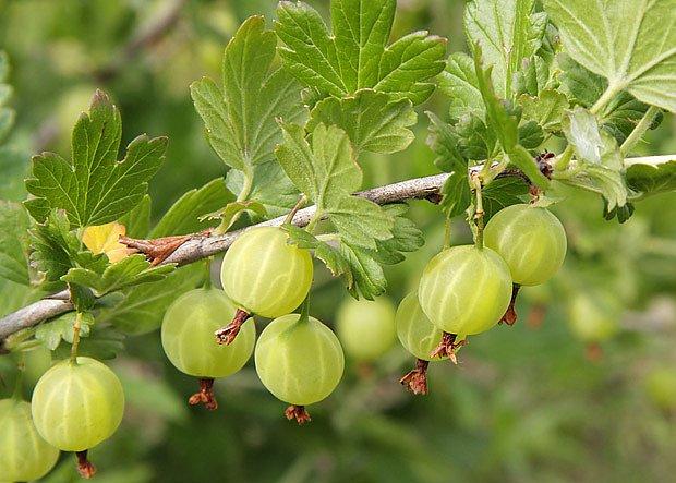 vyzrálé plody angreštu jsou sladké a lahodné