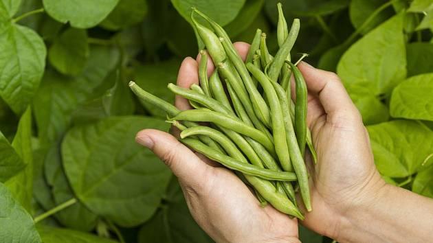 Zelené fazolky jsou výtečným zpestřením jídelníčku