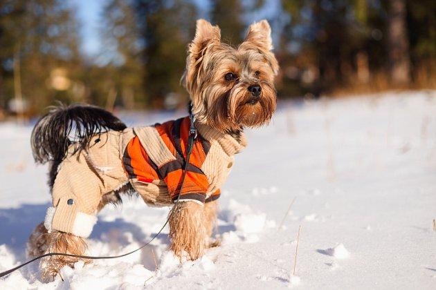 Jorkšírský teriér ochranu proti silným mrazům potřebuje