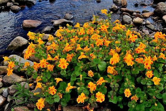 Kejklířky jsou ideální rostliny pro výsadbu k břehům potůčků a zahradních jezírek.