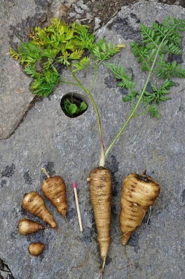 Krabilice hlíznatá (Chaerophyllum bulbosum ssp. Bulbosum, f. sativum)