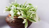Voděnka s panašovanými listy, Tradescantia albiflora