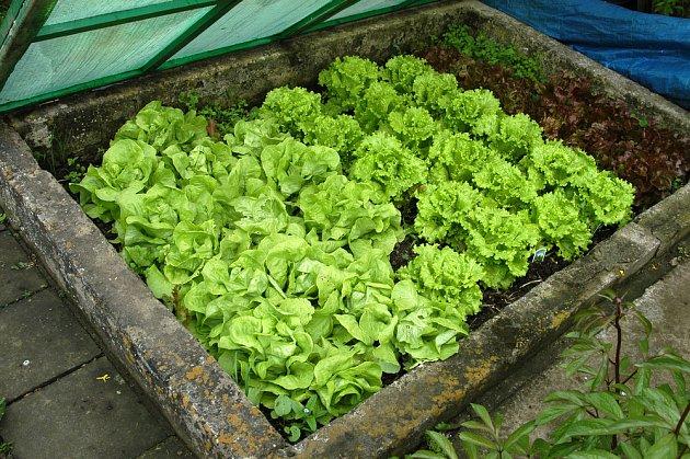 Hlávky salátu v pařeništi, připravené ke sklizení