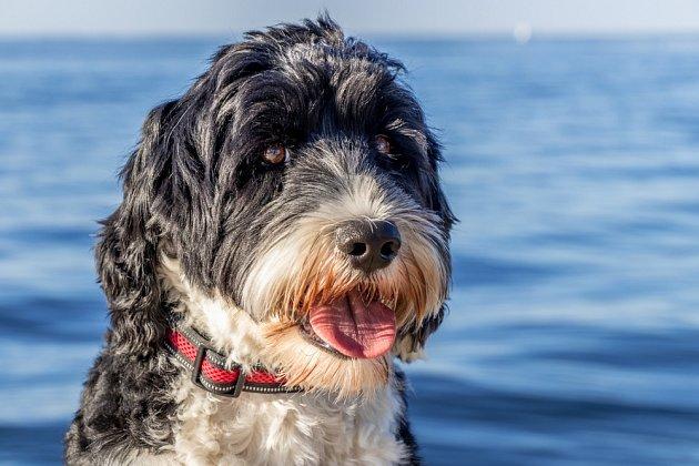 Portugalský vodní pes miluje vodu.