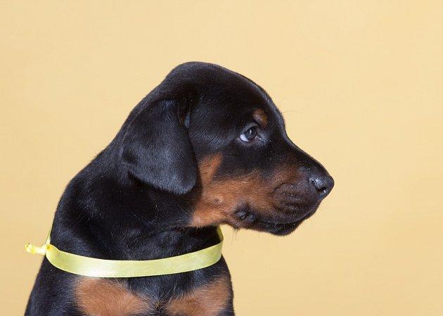 Pejsek se žlutou stužkou může být bázlivý, starý, hluchý, slepý nebo v rekonvalescenci po operaci