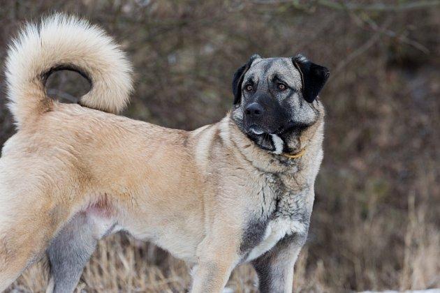 Anatolský pastevecký pes se vůči jiným psům staví značně dominantně