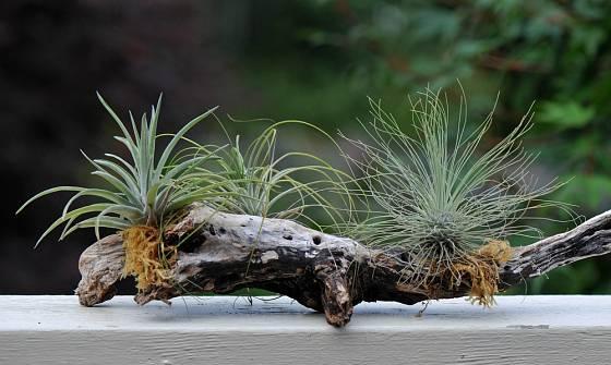 Tilandsie (Tillandsia) se dají pěstovat velmi jednoduše, například připevněné k samorostu.