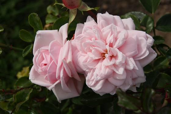 Probuzení (Böhm, ČR, 1935). Květ je hustě plný, velmi světle růžový, 8 cm velký; výška růže 2,5 m. Jednou kvetoucí