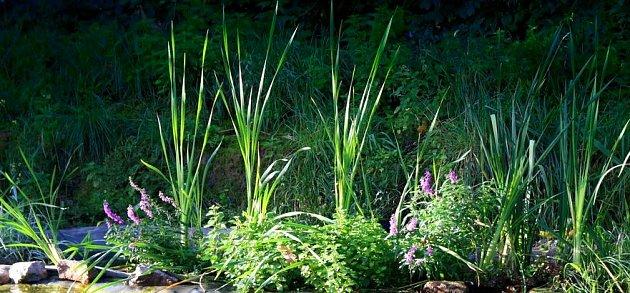 Bujně rostoucí bahenní rostliny účinně čistí vodu