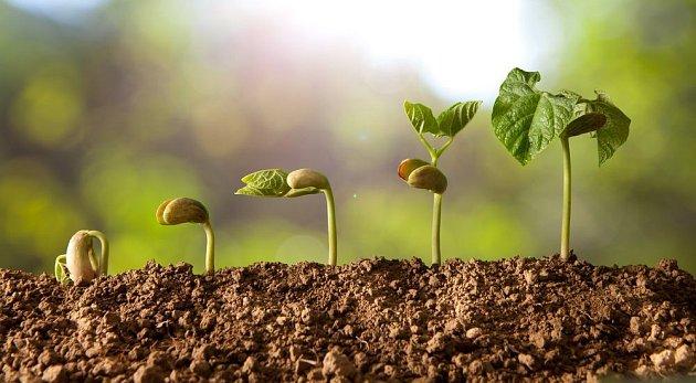 Fazole rostou velmi rychle